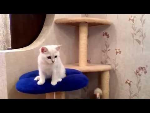Кошка шиншилла фото это не порода, это изящная