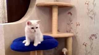 Котенок Британская серебристая шиншилла