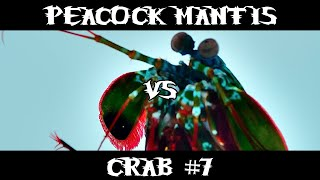 Peacock Mantis VS Crab #7
