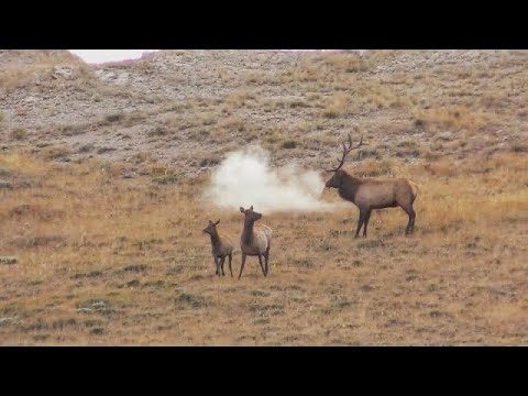 Elk Hunting GIANT HERD BULL In Wyoming 2019