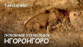 Мир Приключений - Любовные утехи львов Нгоронгоро. Львы и буйволы. Lions vs buffaloes. Ngorongoro.