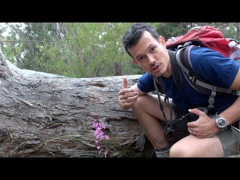 Dipodium roseum orchids in Freycinet National Park Tasmania
