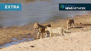 Lions ambush swimming otter