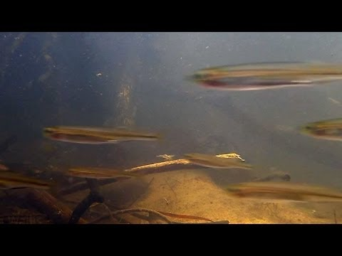 Native Fish: Australian Smelt (Retropinna semoni) Cann River, East Gippsland: Wild Fish Tank