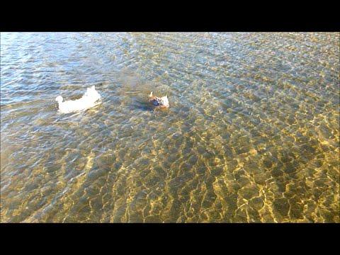 Chihuahua And Westie Dog Swimming In Lake Tahoe  -- Cute -- Perros Nadando En El Lago