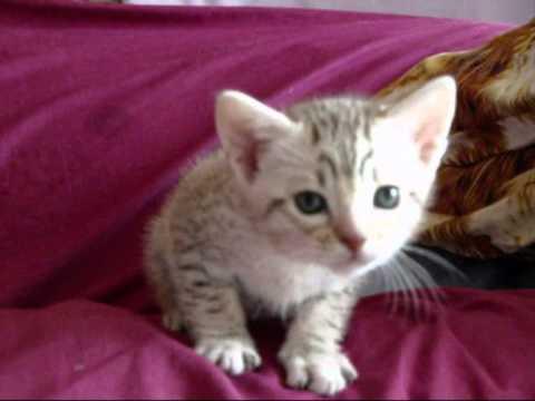 Ashia & Kiwi's adorable Ocicat kittens 5 weeks old