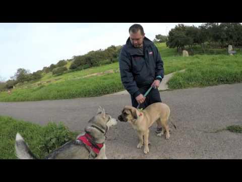 Siberian Husky Meets Cane Corso PUPPY!