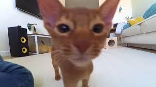 Абиссинский котенок АРТИ - первая неделя дома