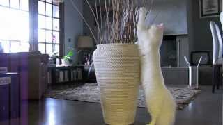 Turkish Angora Demolition Kitten
