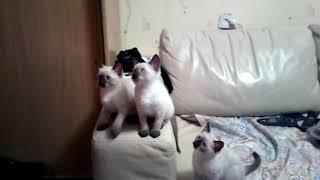 дрессированные сиамские котята