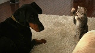 Dog Vs Cat: cute 'ninja' Kitten Shows Doberman Who's Boss