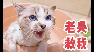 布偶猫洗完澡又被塞进烤箱,以为自己要被吃掉,急的差点喊老吴
