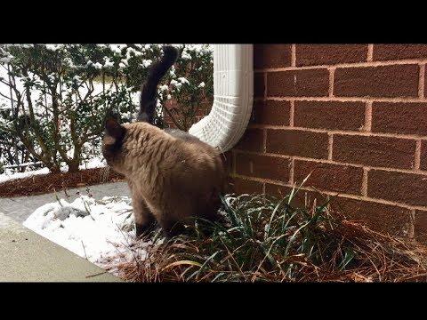 Бусёныш в снегу =^..^= СИАМСКИЕ КОШКИ