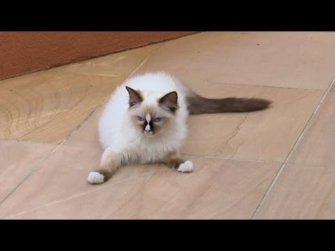 "Ragdoll Kitten Harness Training Day 1 ""Flop & Drop"" -- ラグドール - PoathTV Funny Cat Video - PoathCats"