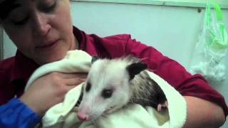 Proper Opossum Bath & Groom