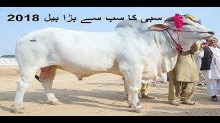 Largest Sibbi Bail 2018 | World Largest bull | Eid in Pakistan | Qurbani animals