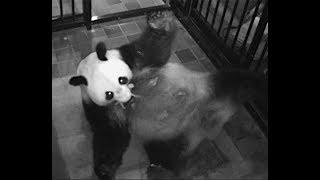 上野動物園のジャイアントパンダ「シンシン」が出産