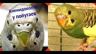 Лечение и профилактика кнемидокоптоза (чесотка) у попугаев