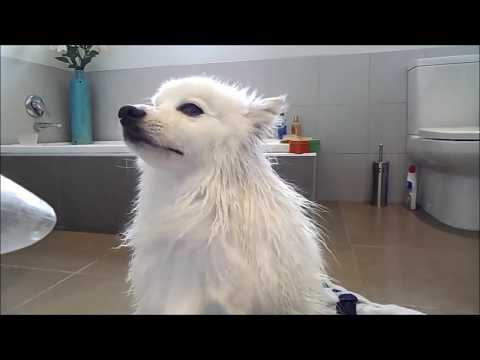 Grooming a Spitz