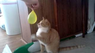 Cat playing with water balloon
