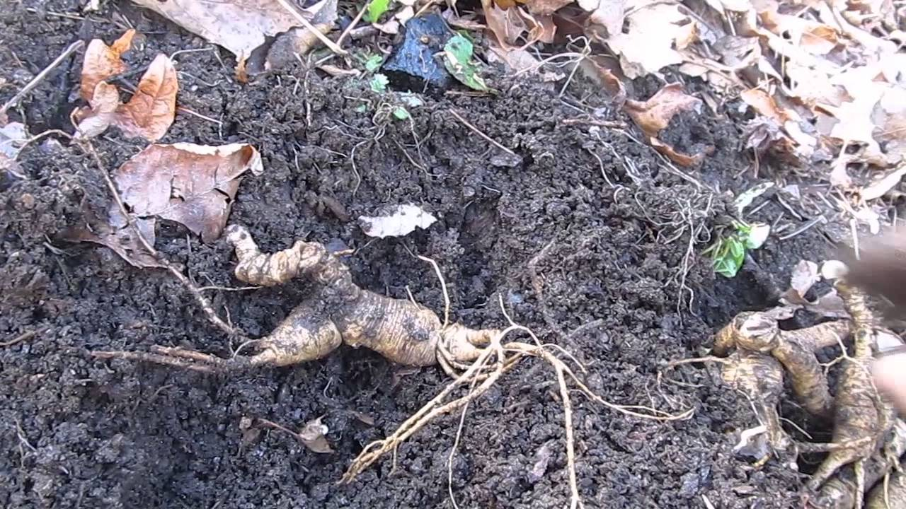 The roots of Appalachia huge ginseng roots for sale 3 ...