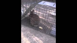 Squirrel Mice and Rat Trapping and Removal New Jersey 732-640-5488