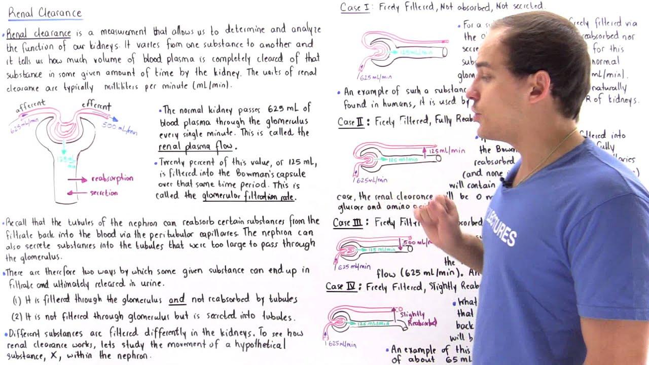 Renal Clearance  Renal Plasma Flow And Glomerular