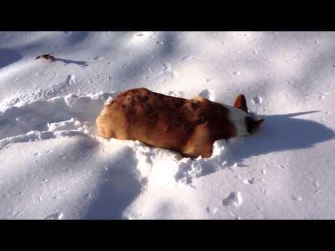 Meri the Snow Plow Corgi