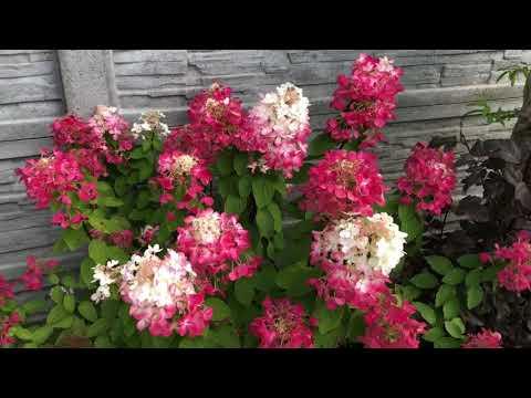 Гортензия метельчатая (сорта,уход) цветение хризантем . Мой осенний сад🍁сентябрь