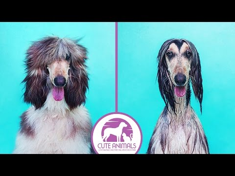 25 Funny Dog Before and After a Bath
