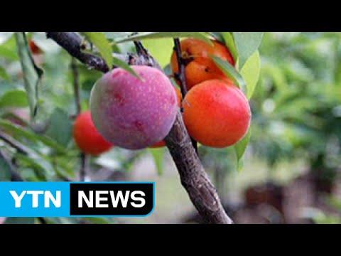 나무 한 그루에 40가지 과일 '주렁주렁' / YTN