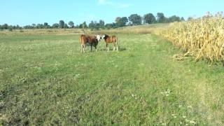Конь и корова