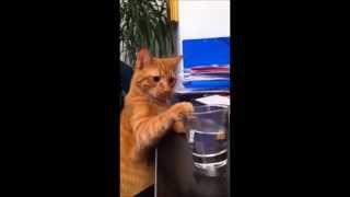 Кот пьет воду из стакана почти как человек