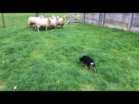 "Working Kelpie Sue ""Cahoots (ND) Goolara"" - meeting sheep @ 10 weeks"