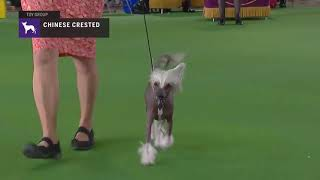Chinese Cresteds | Breed Judging 2019