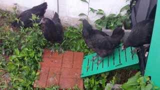 Australorp hens at 14 weeks