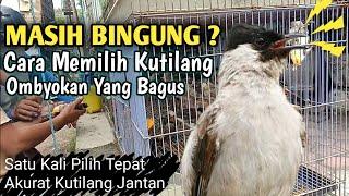 Cara Memilih Burung Kutilang Jantan di Kandang Ombyokan