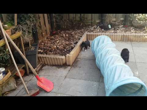 Puppies face the mini agility tunnel for the first time