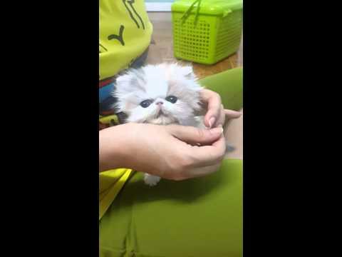 สอนลูกแมวกินอาหารเม็ด (อายุ 1 เดือน)