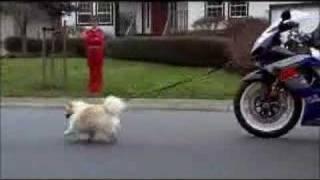 Suzuki Dog Walk