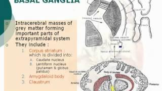 62  Basal ganglia الدكتور أحمد كمال   Neuroanatomy 62 cxt
