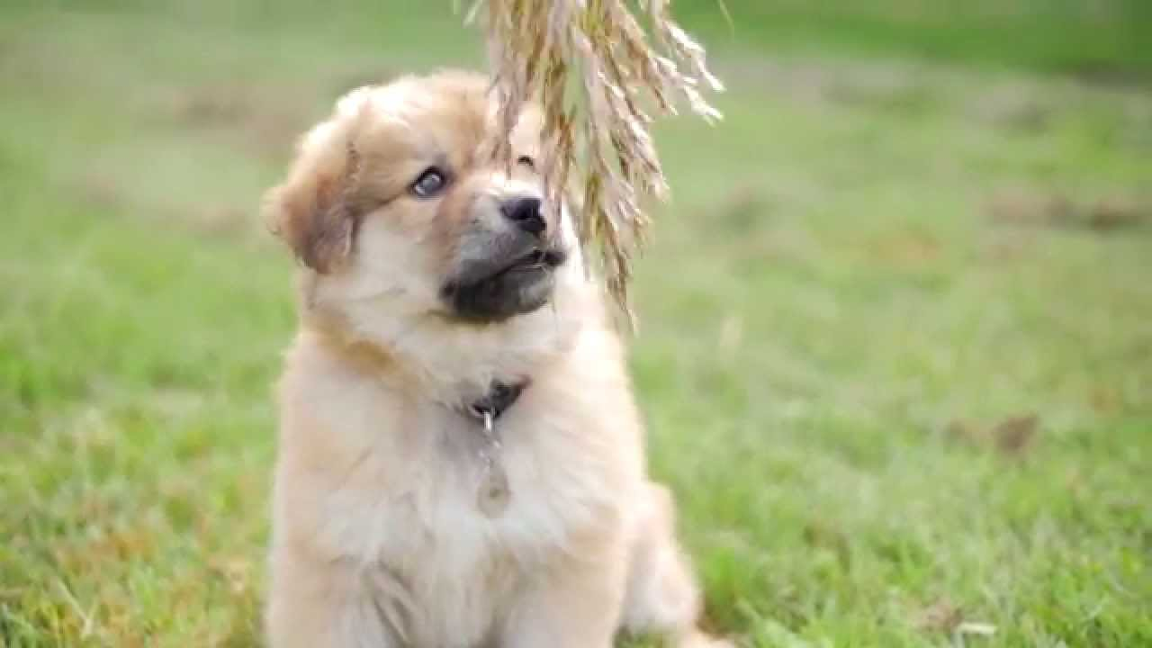 Cutest Puppy Ever Alaskan Malamute And Golden Retriever Mix Youtube