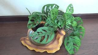 Комнатное растение Монстера пробитая Мonstera pertusa
