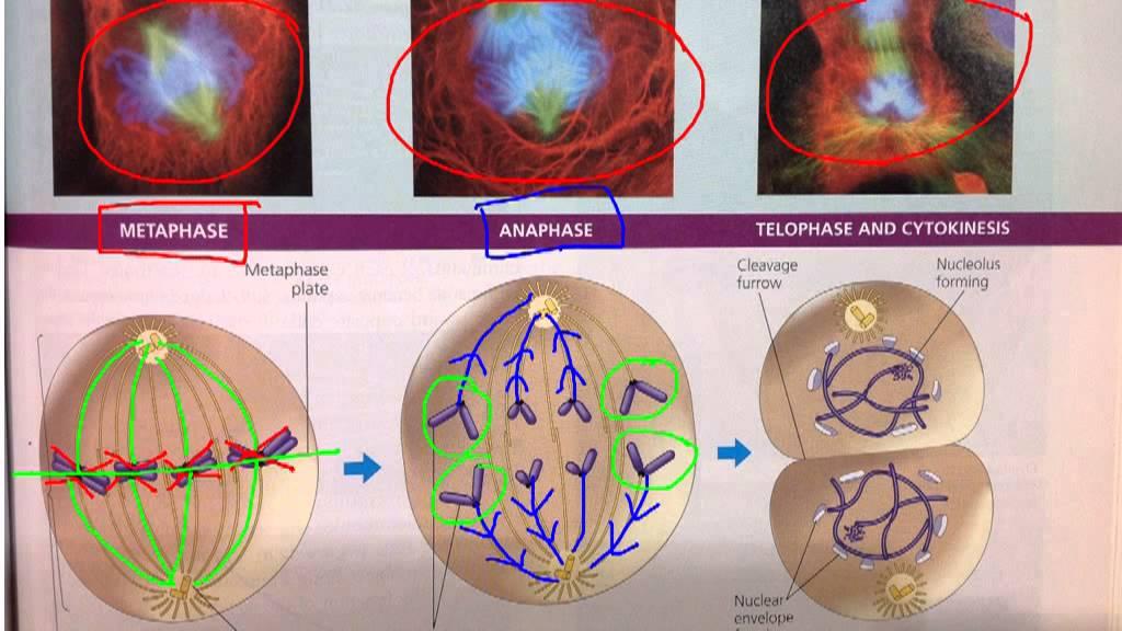 mitosis metaphase anaphase telophase and cytokinesis