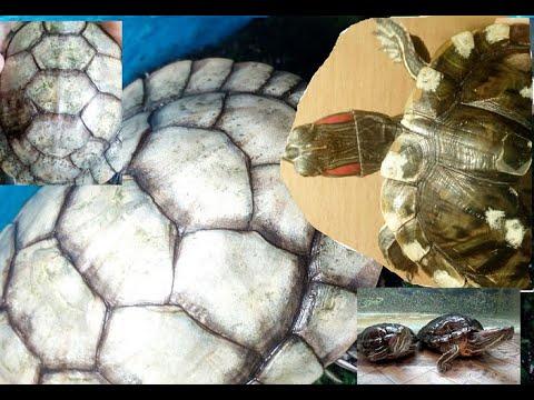 Как почистить панцирь красноухой черепахи