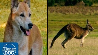 Tasmania Island | Kangaroos & Dingoes