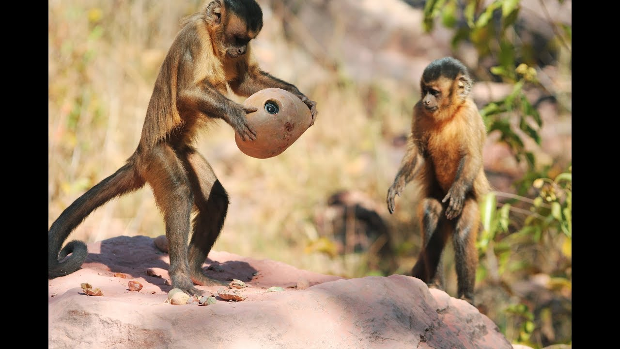 Monkey Cracks Nut - what could go wrong? - YouTube