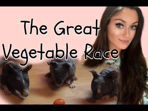 Hairless Guinea Pig Races!