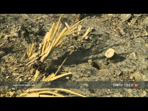 Wolf spider's termite hunt goes wrong