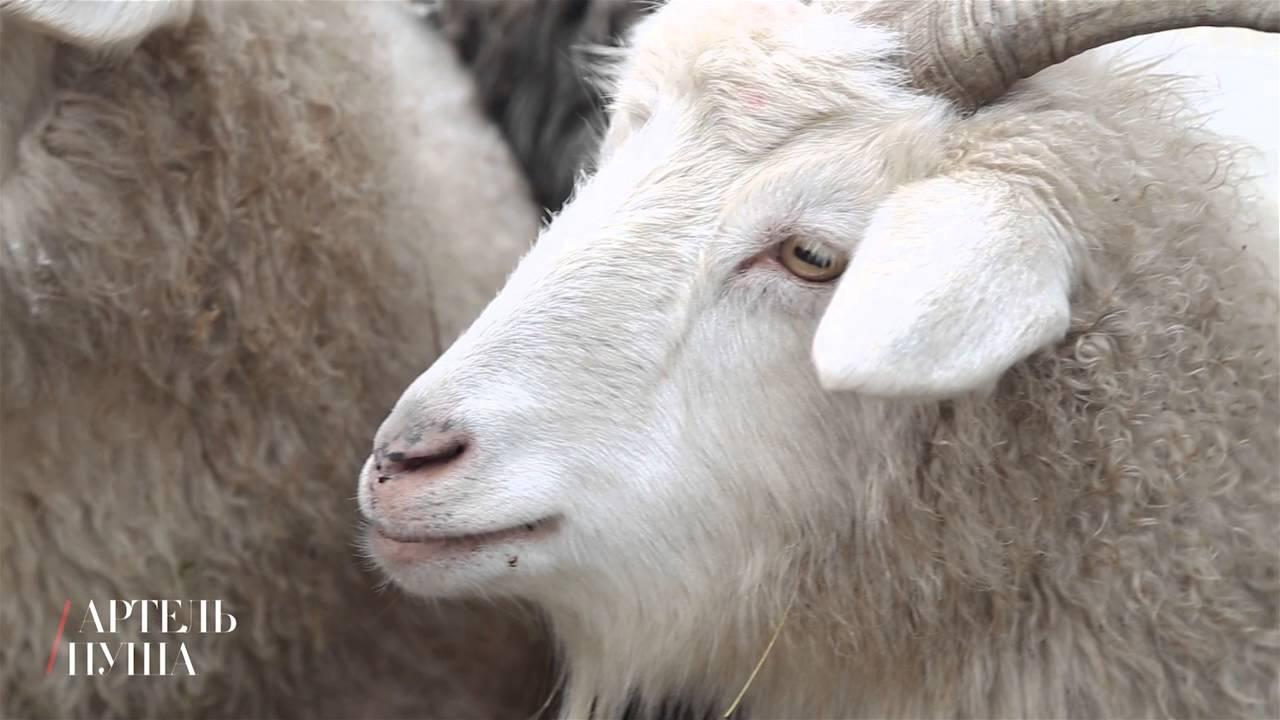 29 дек 2016. В 1997 году разработчики горно-алтайской пуховой породы коз получили государственную премию в области науки и техники.